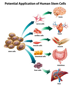 stem cell - shutterstock